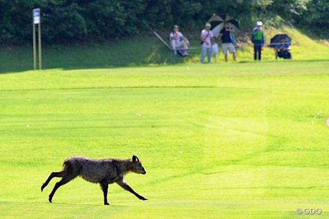2013年 日医工女子オープンゴルフトーナメント 最終日 フェアウェイを駆ける鹿 再々開後、突如ピーカンの猛暑に見舞われた13番フェアウェイに現れた1頭の鹿。一服の清涼剤に…なりませんわなァ…。