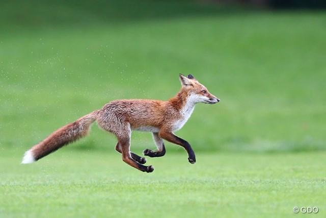 2013年 日本女子プロゴルフ選手権大会コニカミノルタ杯 3日目 キタキツネ プレー中の球をくわえて逃走してしまったキタキツネ。野生動物を触るのはきわめて危険です。