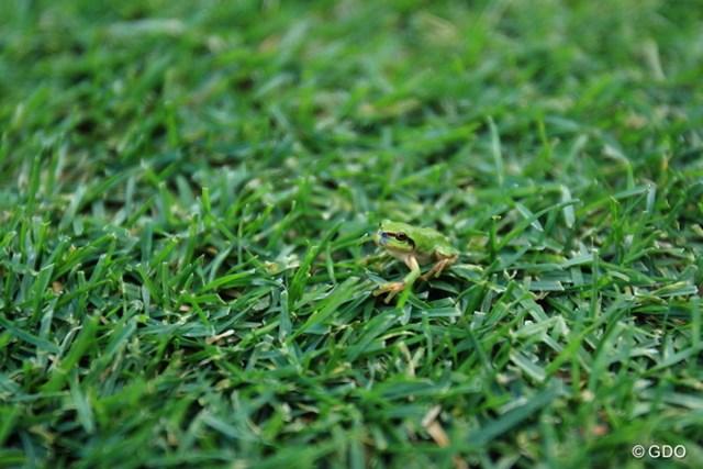 2013 ANAオープンゴルフトーナメント 初日 カエル カエルを探せ!