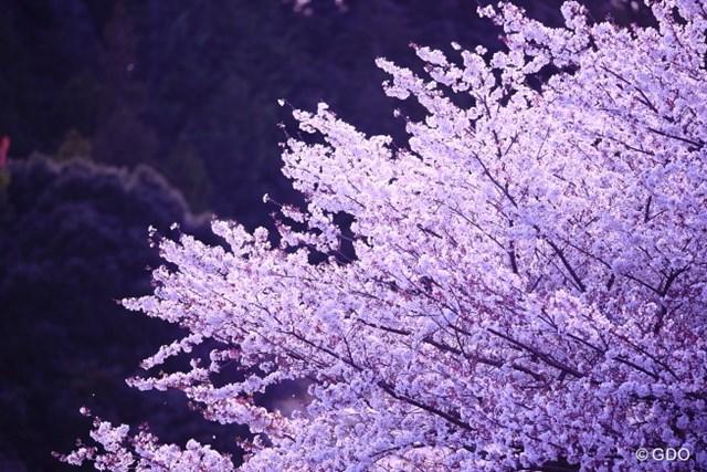 2014年 ヤマハレディースオープン葛城 2日目 桜 今日の桜。